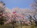 三ッ池公園 桜 2010 照手白・照手紅
