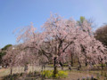 三ッ池公園 桜 2010 紅枝垂