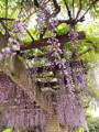 神代植物公園 藤棚