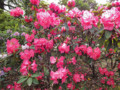 神代植物公園 石楠花 しゃくなげ