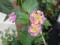 ランタナ シチヘンゲ 七変化 ピンク 黄色