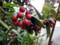 ナナカマド 赤い実