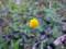 多摩川河川敷 黄色い花
