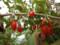 多摩川河川敷 赤い実