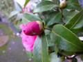 寒椿 つぼみ 蕾