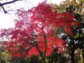 紅葉 雑司ヶ谷霊園