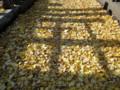 銀杏(イチョウ)の絨毯 雑司ヶ谷霊園