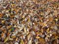 落ち葉の絨毯 雑司ヶ谷霊園