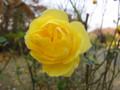 神代公園 バラ 20101128 深大寺