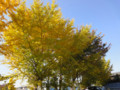 銀杏 イチョウ 紅葉 深大寺 梅の湯駐車場