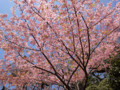 110303 池上本門寺 河津桜