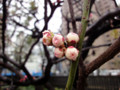 110307 呑川 梅の花 雨