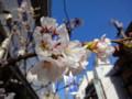 美容院の桜 20110404