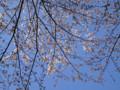 中学校の桜 20110404