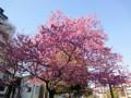 近所の公園の桜 20110406
