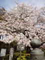 赤プリの桜 2010407