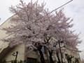中学校の桜 20110409