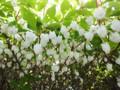 お庭の植栽 ドウダンツツジ 30110424