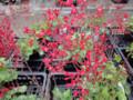 道の駅 石鳥谷 お花