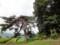 山口の薬師様 松の大木
