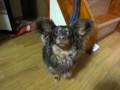 太郎ちゃん 室内犬