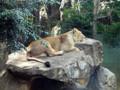 上野動物園 メスライオン