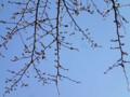 20120325 中学校の桜 つぼみ