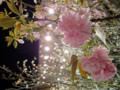 桜を見上げよう。Sakura Project 有楽町ルミネ