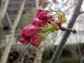 20120331 桜 つぼみ