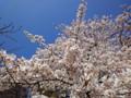 20120406 赤プリ 桜