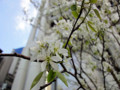 20120415 赤坂の桜