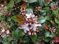 20120430 生垣の花