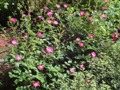 丸の内 一号館広場 薔薇 バラ