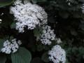 コアジサイ 小紫陽花 夜