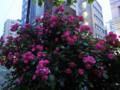 バラ 薔薇 夜