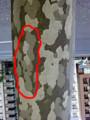 鈴懸の木 プラタナス 幹 国道246沿い