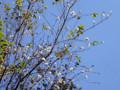 フユザクラ 十月桜 バラ科 赤坂見附