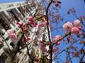 130316 赤坂見附 桜