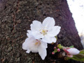 桜 ひこばえ