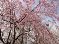 20130328 公園の桜 ベニシダレ