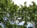 ハンカチノキ 神代植物公園