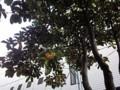 キンモクセイ 金木犀