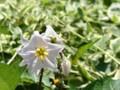 ナス科の花
