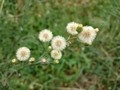 オオアレチノギク 大荒地野菊