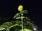 ひまわり 向日葵 夜