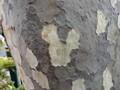 スズカケノキ プラタナス 鈴懸木