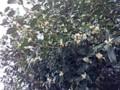 ヒイラギ 花 141115