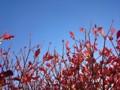 強風 青空 紅葉 141202