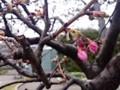 150222 河津桜