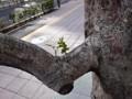街路樹 ひこばえ